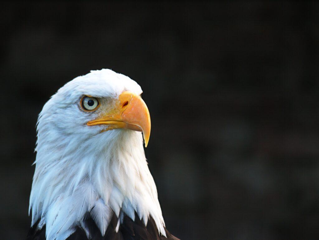 Bald Eagle In Maine Wildlife park